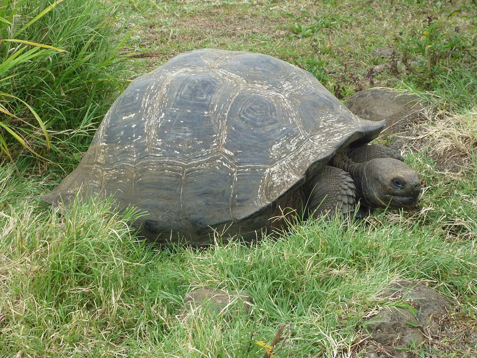 The Saving of the Galapagos Islands' Giant Tortoises
